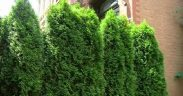 Frugal Landscaping for Back Yard Privacy : Landscaping Ideas